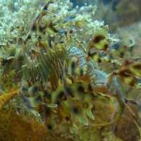 In his habitat, the sea dragon is nearly invisible.  Image courtesy of nicerweb.com and Google Images